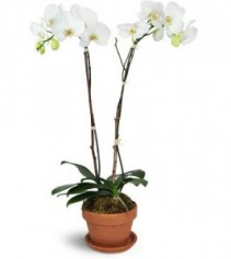 Double Spike Phalaenopsis Orchid Plant  Plant & Pottery
