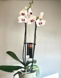 Phalaenopsis Orchid Potted Plant