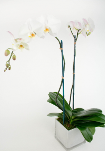 Double Spike White Orchid Sorry Sold Out