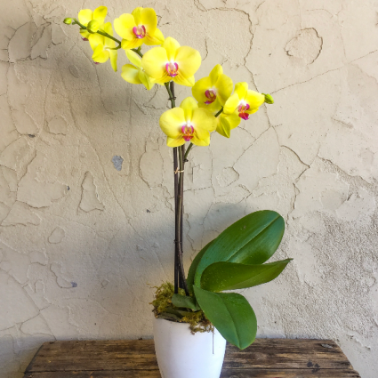 Double Spike Yellow Orchid sorry sold out