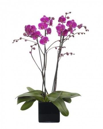 Double Stem Orchid Blooming Plant
