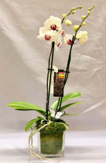 Double Stem Orchid in Cube Plant