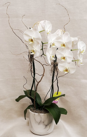 Double Stem Orchid in Marble Pot Plant