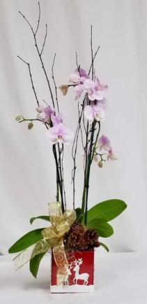 Double Stem Orchid Orchid Plant
