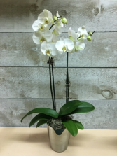 Double Stem Orchid Double Stem White Orchid