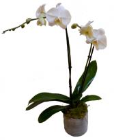 Double Stem Orchid Plant plant