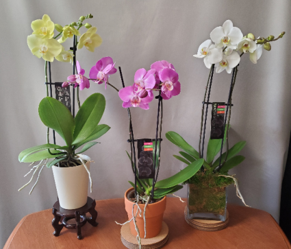Double Stem Orchid Special Plant