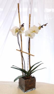 DOUBLE STEM PHAELAENOPSIS ORCHID