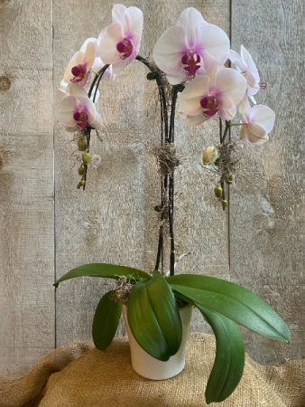 Double Stem Pink Orchid in ceramic pot