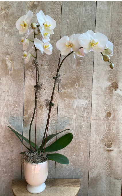 Double Stem White Orchid in ceramic pot