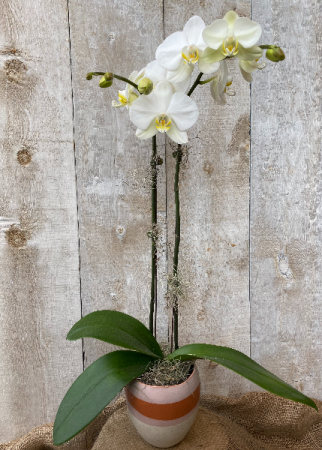 Double Stem White  Orchid in decorative pot