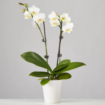 Double Stem White Orchid Plant