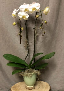 Double Stem White Orchid potted plant