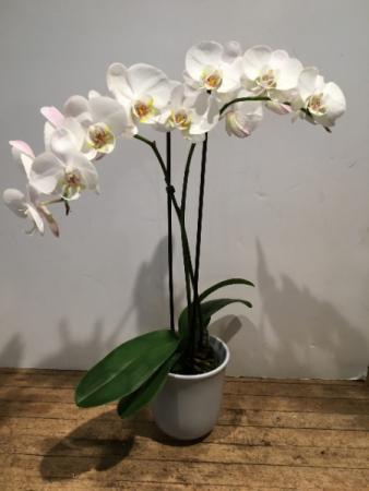 double stem white Phalaenopsis orchid