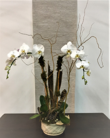 Double Waterfall  Orchid Plant