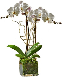 Double white orchid in glass cube