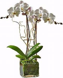 Double White Orchid Orchid Plant
