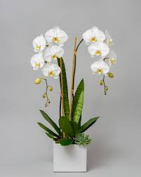 Double White Phalaenopsis Orchid