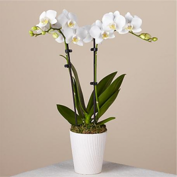 Double White Phalaenopsis Orchid planter Plants