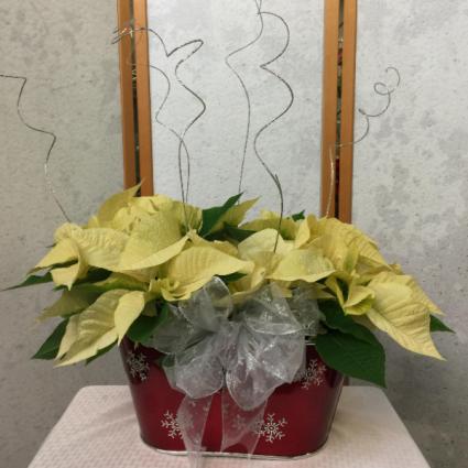Double White Poinsetta plant