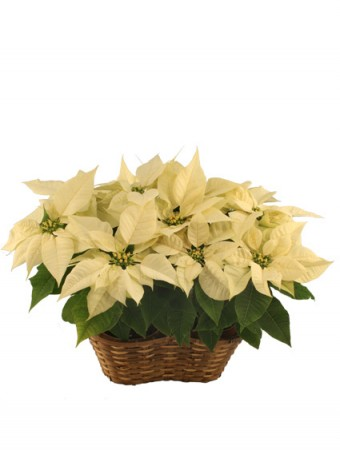 Double White Poinsettia Blooming Plant