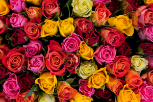 Dozen Colored Rose Arrangement  in Hot Springs, AR | Flowers & Home of Hot Springs