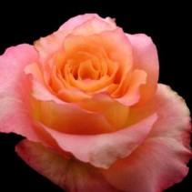 Dozen Cotton Candy Roses Arranged in a vase