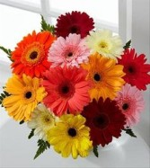 Dozen Gerber Daisys Wrapped Mixed Colors Only