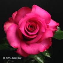 Dozen Hot Princess Roses Arranged in a Vase