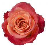 Dozen Sherbert Roses Arrangement  in Indialantic, Florida | ROSES ARE RED