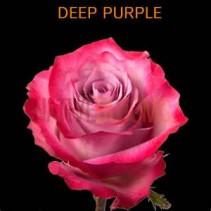 Dozen Purple Haze Arranged in a Vase