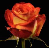 """Dozen """"Beloved """" Roses Arranged in a Vase"""