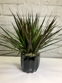 Dracaena Cincta in Black Pottery  Red Margin Dracaena
