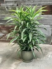 Dracaena deremensis Indoor Plant
