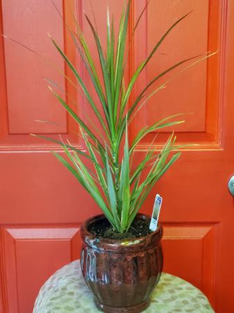 """Dracaena in 6"""" Ceramic Planter"""