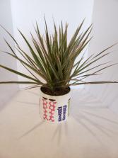 Dracaena Marginata in ceramic pot Plant