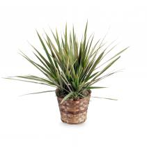 Dracaena Marginata Plant Basket