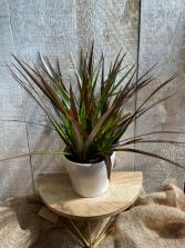 Dracaena Marginata Plant in Ceramic pot