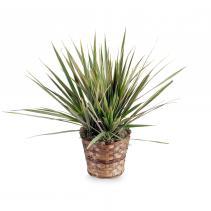 Dracaena Marginata Plant Plant