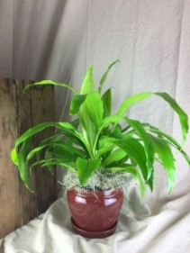 Dracaena Plant THREE OPTIONS Plant