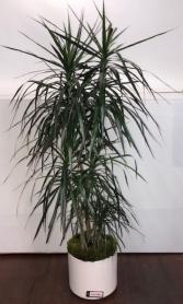 Dracena  Green Plant