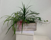 Dracena, Ivy, Spider Plant Plant