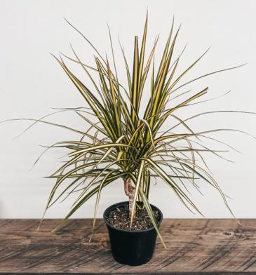 "6"" Dracena Marginata Kiwi, Kiwi Dracaena Plant"