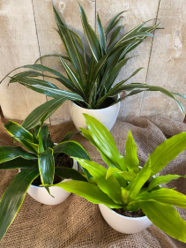 Dracenas assorted plants
