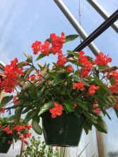 Dragon Wing Begonia  Shade- Greenhouse