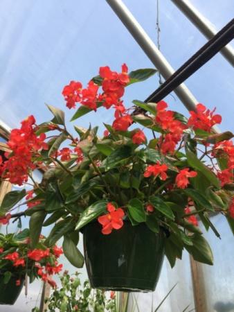 Dragon Wing Begonia  Shade- Greenhouse