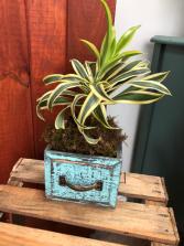 Dresser Drawer Cutie!! Plant Arrangement