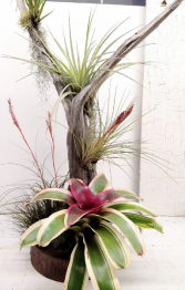Driftwood Tree with Specialty Air Plants- 47