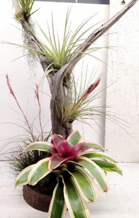"""Driftwood Tree with Specialty Air Plants- 47"""" XL"""