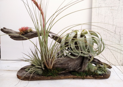 Driftwood Tree with Specialty Air Plants